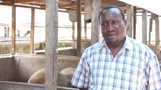 PROFITABLE PIG FARMING SECRET IN KENYA UN EDITTED