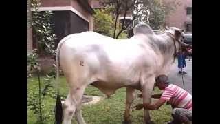 getlinkyoutube.com-Easy way to lay down an ox to be sacrificed.
