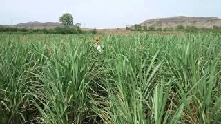 getlinkyoutube.com-Khillari Jodi -Sangli