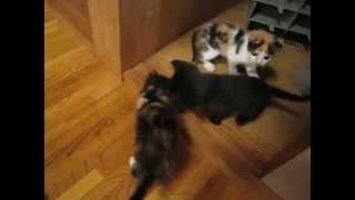 getlinkyoutube.com-自由に遊ぶかわいい子猫ちゃん達と子猫を威嚇する先住猫!一方母猫は・・・