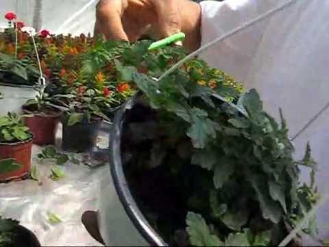 ciupirea florilor- Producator flori la ghiveci www.florighiveci.ro