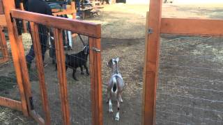 getlinkyoutube.com-Backyard Chickens and Goats. A tour of our farm.
