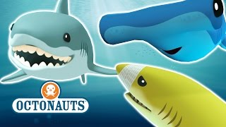 getlinkyoutube.com-Octonauts - Who Loves Sharks?