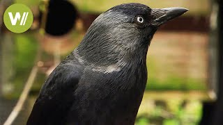 getlinkyoutube.com-Ravens -  the most intelligent birds in the world (animal documentary in HD)