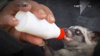 getlinkyoutube.com-NET24-Komunitas Musang Lover Indonesia di Pekalongan
