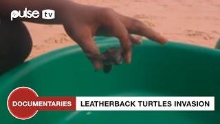 getlinkyoutube.com-22 Leatherback Turtles Wash Up On Lagos Beach | Pulse TV