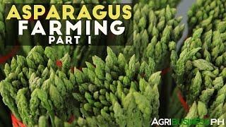 getlinkyoutube.com-How to grow asparagus in the Philippines | Asparagus farming part 1