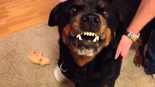 getlinkyoutube.com-Angry Rottweiler 2