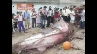山口県光市【サメ騒動】巨大ホホジロザメ捕獲!