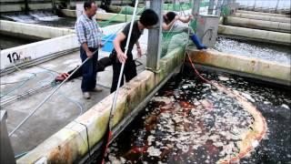 getlinkyoutube.com-Momotaro Koi Farm - Jumbo Tosai Tategoi Selection - Koibito Japan