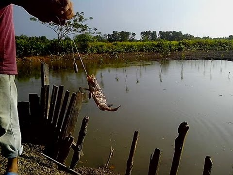 Ikan Kerapu Tikus Di Pintu Empang | Mancing Mania Mantap!!!
