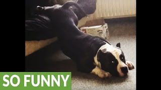 getlinkyoutube.com-American Bulldog just can't get out of bed