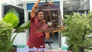 getlinkyoutube.com-นกกรงหัวจุกหนึ่งเดียวในโลก
