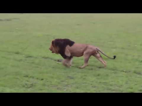 Aslan vs sırtlan. Erkek aslan hesabı kapatıyor !!