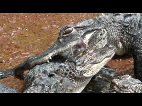 Alligator Fight/Attack: Crocodile vs. Crocodile