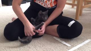 Swimmers Syndrome Kitten - How To Make Tape Leg Support