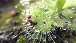 getlinkyoutube.com-Drosera burmanii vs ant