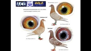 getlinkyoutube.com-PIGEON COLOUR BREEDING YELLOW AND KHAKI