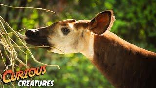 Okapi | Curious Creatures