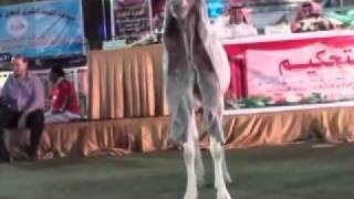 getlinkyoutube.com-المسابقة الكبرى لجمال الماعز الحجازي بمكه المكرمه لعام 1432هـ 2