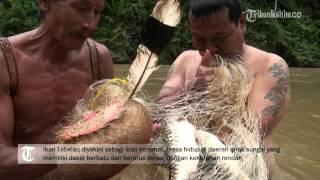 getlinkyoutube.com-VIDEO Ikan keramat dari Pedalaman Kalimantan Timur