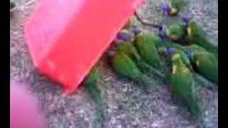 getlinkyoutube.com-bird trap