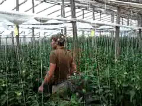 Marturii Terrafertil 2010 - Productie de ardei gras cu Terrafertil  in comuna Matca jud Galati