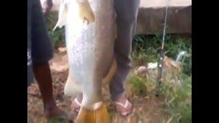 getlinkyoutube.com-mancing ikan baramudi/kakap putih 15 kg di Sungai Roban Batang