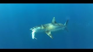 getlinkyoutube.com-UNDERWATER: Mako attacks big kingfish