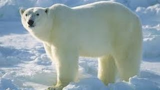 getlinkyoutube.com-Snow and Ice Svalbard (Arctic Wildlife Documentary)