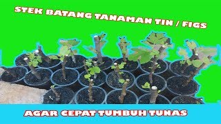 getlinkyoutube.com-Cara stek batang bibit tin ara figs