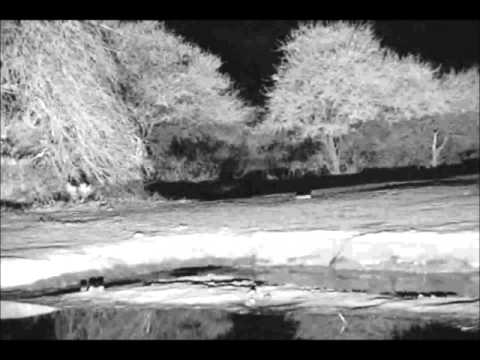 Honey Badger at Pete's Pond at 3:29AM on June 18, 2013