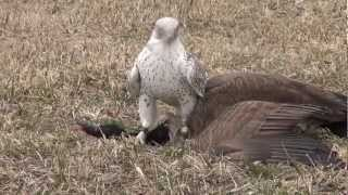 getlinkyoutube.com-Gyrfalcon female takes Canada goose