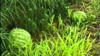 getlinkyoutube.com-Melancia de 50 kg espanta agricultor