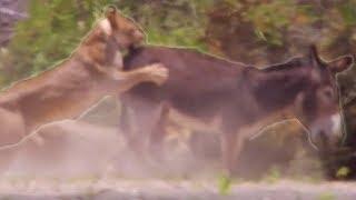 getlinkyoutube.com-Lions hunting donkeys - BBC