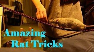 Fancy rats perform amazing tricks