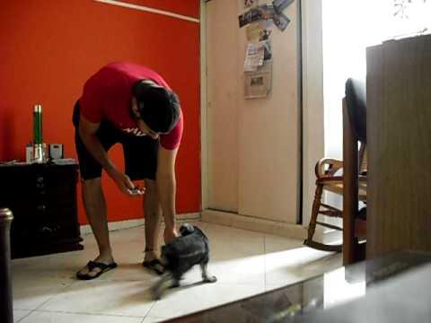 metodo clicker... PePe James CACHORRO schnauzer de 3 meses, adriestrando a tu perro
