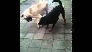 getlinkyoutube.com-Kurdisch Kangal vs. Deutscher Rottweiler 2011