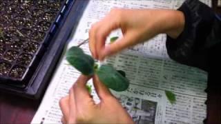getlinkyoutube.com-大学農園 / 接ぎ木(きゅうり断根挿し接ぎ トマト割り接ぎ)  2011-0302