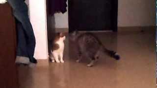 getlinkyoutube.com-My cats fighting for dominance!