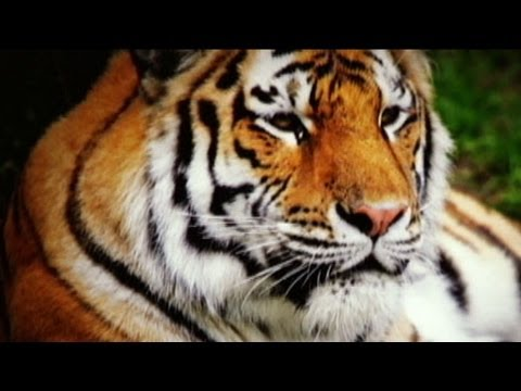 Bronx Zoo Tiger Attack; Powerful Animal Mauls Young Man