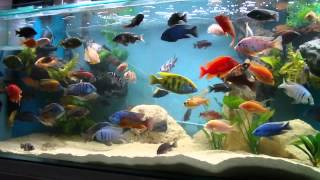getlinkyoutube.com-African Cichlid 100 Gallon Tank Update  28.6.14