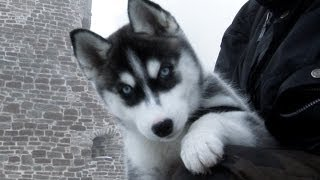 "getlinkyoutube.com-Cute Siberian Husky 11 week old ""Lihkku"""