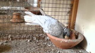 عملية اطعام فروخ الحمام Pigeon
