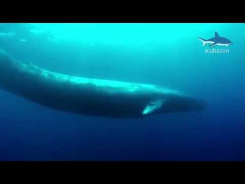 Amazing Blue Whale HD - the biggest animal on our Earth!