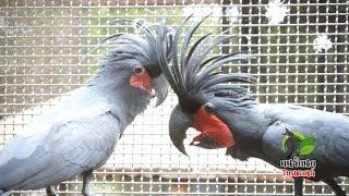 getlinkyoutube.com-นกมาคอว์ (Macaws) บลูโกล กรีนวิง สกาเล็ต - มอลัคคั่น อิเล็คตัส กระตั้วดำ Partu Farm (ป๋าตุ๊นครปฐม)