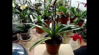 getlinkyoutube.com-Как поливать орхидеи. Как я поливаю орхидею. Личный опыт.  Фаленопсис, Ванда, Мильтония, Дендробиум.