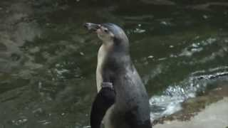 VIDEO: Incredible footage of a baby penguin hatching in Oregon