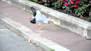 getlinkyoutube.com-Seagull kills a pigeon