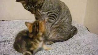 getlinkyoutube.com-くるみのまいにち 35 「新入り子猫に少し戸惑う猫」